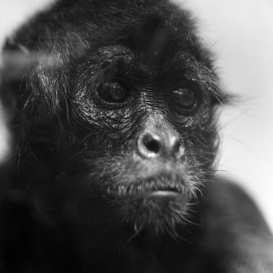 Monkey China Beijing Zoo Sony A7 Samyang 135mm F/2.0