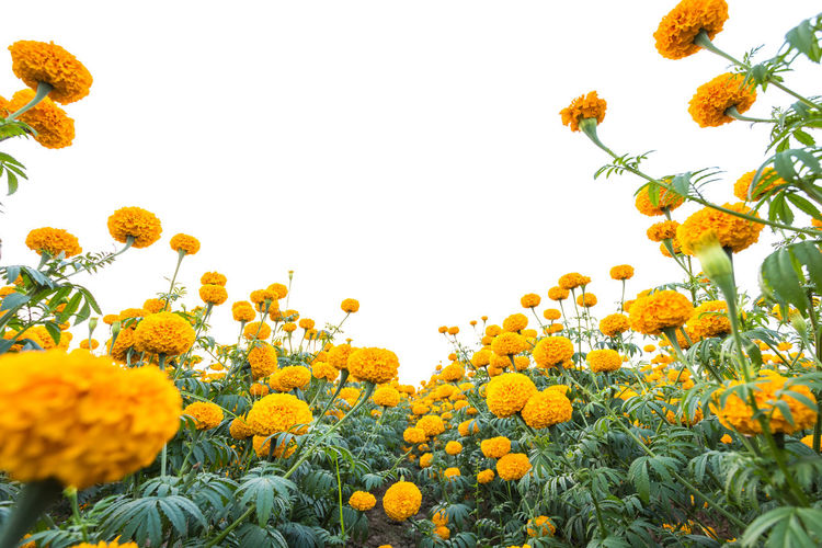 Low angle view of yellow flowering plants against clear sky
