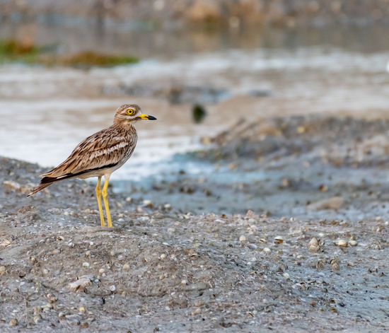 Stone Curlew Animal Animal Themes Animal Wildlife Animals In The Wild Beach Bird Day Focus On Foreground Full Length Land Nature No People One Animal Outdoors Perching Profile View Side View Vertebrate Water Zoology