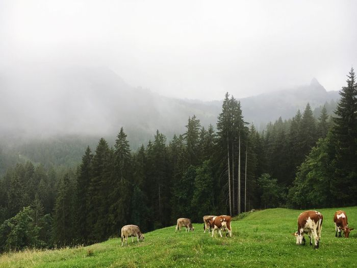 Switzerland Cows Cow Tree Landscape Field No People Beauty In Nature Fog Farm Animal Nature Grass Mountain First Eyeem Photo