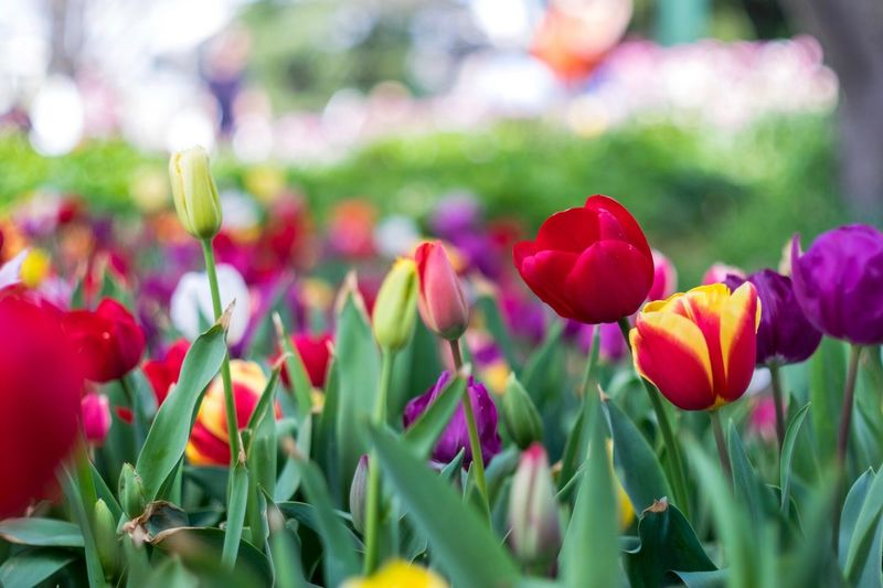 Tulips Day.
