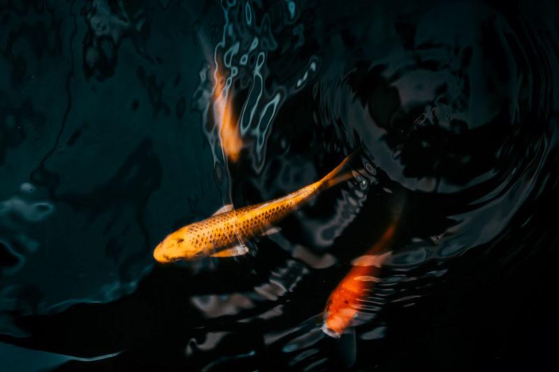 koi fish Water Swimming Sea Nature Animal Animal Wildlife Animal Themes Underwater Vertebrate Fish Animals In The Wild No People Marine Sea Life Koi Fish Color