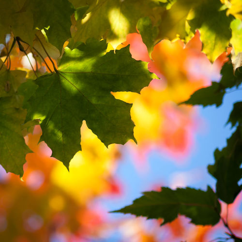 Maple leaves in autumn light Maple Leaf Autumn Colors Autumn Blue Sky