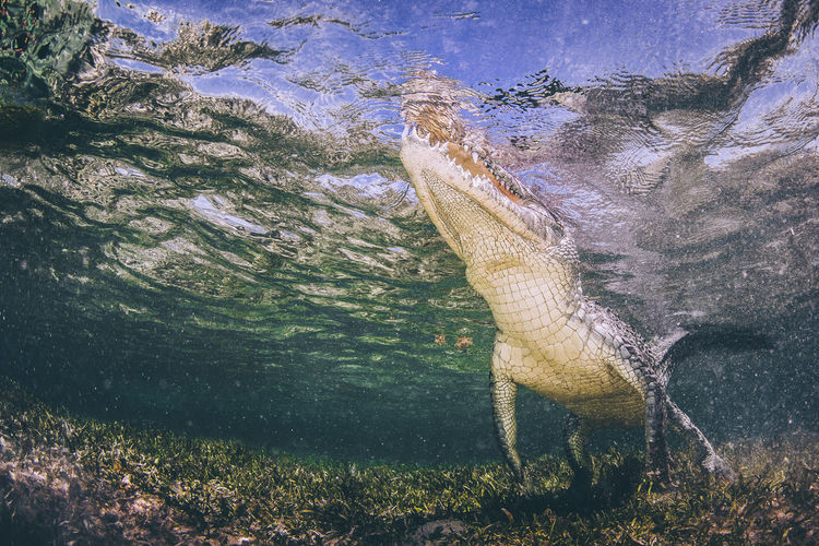 Animal Themes Animals In The Wild Crocodile Nature Ocean View One Animal Outdoors Swimming Underwater Photography Water Wildlifephotography
