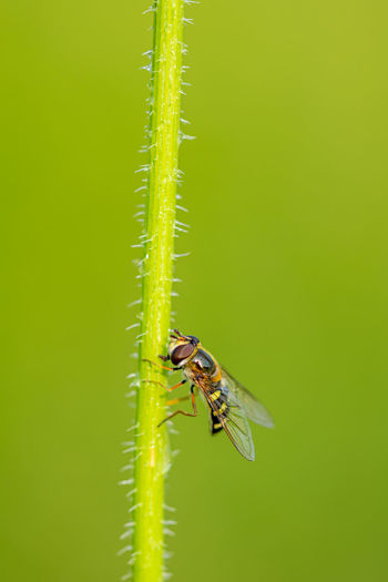 Male sphaerophoria scripta, long hoverfly