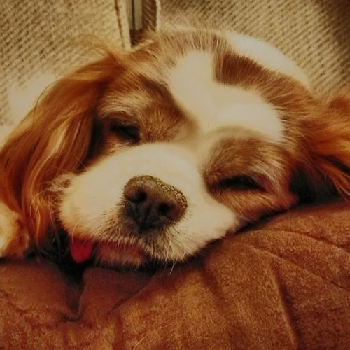 Betty Cavalier King Charles Spaniel Dogs Sleeping Dog Photography Animal Themes Dog Pets Close-up Blenheim Cavaliers Inneed Ginger Domestic Animals One Animal Mammal Relaxation Indoors  No People Day