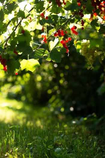 Red berries on tree
