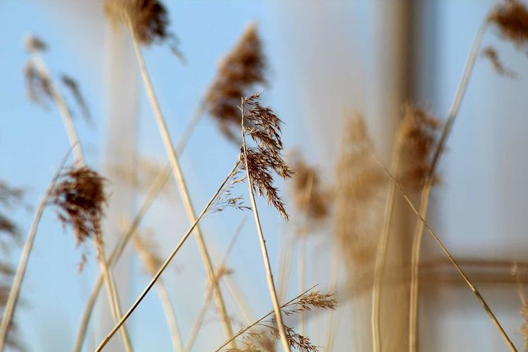 Growth Nature Plant Rural Scene Close-up Agriculture Gold Colored Outdoors Beauty In Nature Clear Sky Experimenting... Freshness Fragility Tranquility EyeEm Team This Week On Eyeem EyeEmNewHere Nature