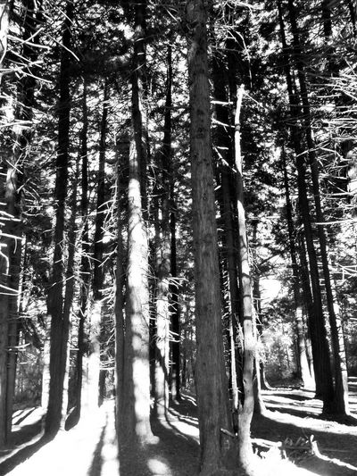 trees and shadows Trees Day Branches Plants Nature_collection Nature Park Tranquility Tree Forest Tree Trunk Sunlight Sky WoodLand Woods Sunrays Calm Tranquil Scene