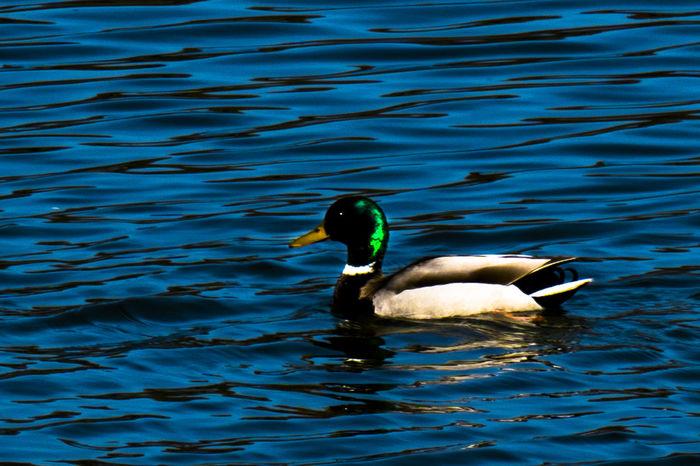 Animal Themes Animals In The Wild Bird Drake  Duck Erpel Nature Swimming Water Water Bird