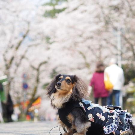 Minituredachshund Dachshund Dogs Of EyeEm お散歩 Dog Walking 春photo Spring 桜 Cherry Blossoms 愛犬 Dog