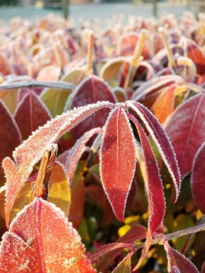 EyeEm Selects Frost on plant leaves in the morning No People Day Nature Outdoors Focus On Foreground Beauty In Nature Close-up Plant Growth Freshness Room For Copy Chicago Bradleywarren Photography Bradley Olson Flower Frost Frosty Frosty Mornings Arlington Heights Illinois Winter Cold Temperature Holidays Christmas Time