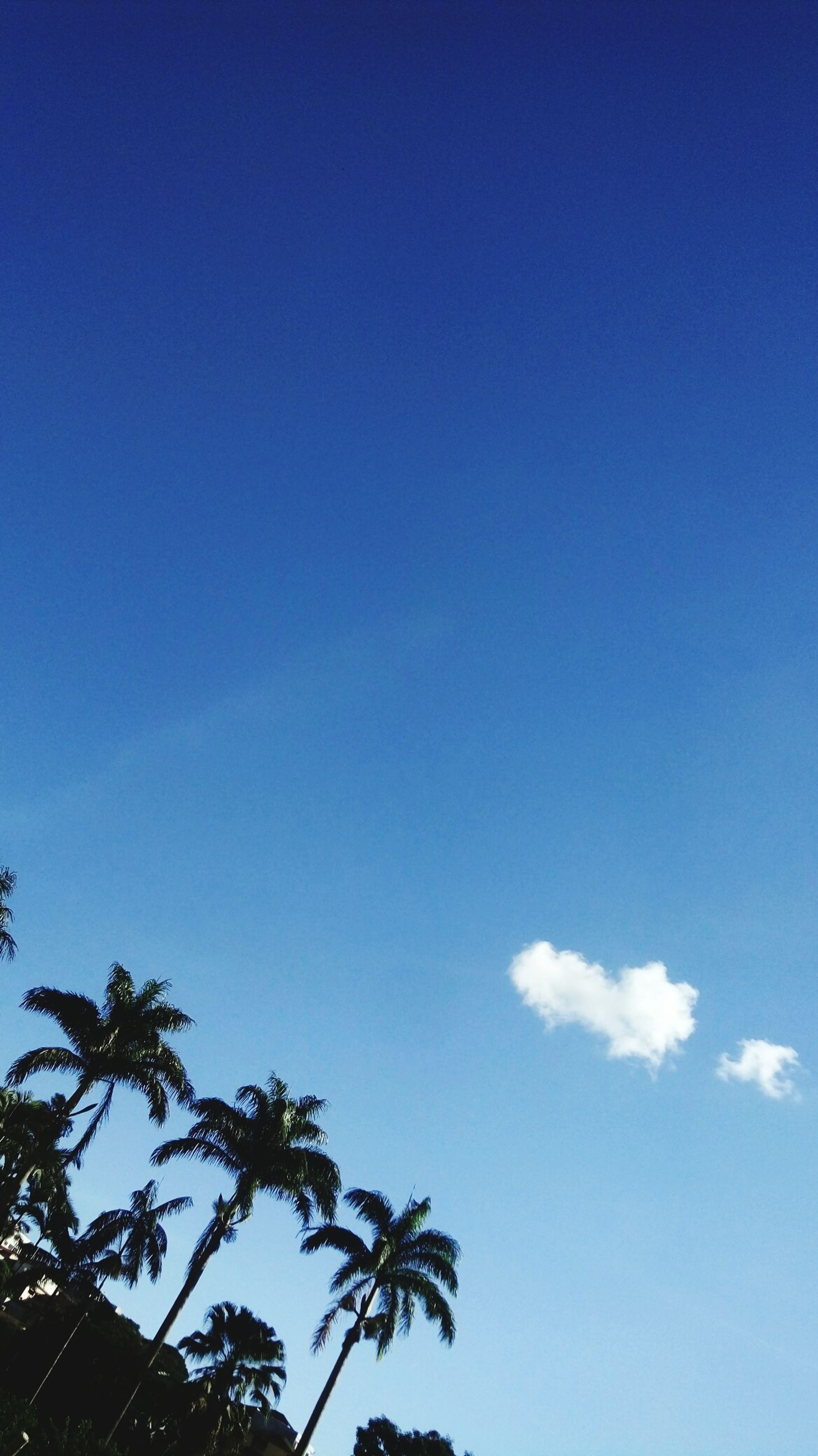 sky, tree, low angle view, blue, beauty in nature, cloud - sky, plant, tranquility, palm tree, day, nature, no people, tropical climate, scenics - nature, growth, tranquil scene, copy space, outdoors, sunlight, treetop, coconut palm tree, palm leaf