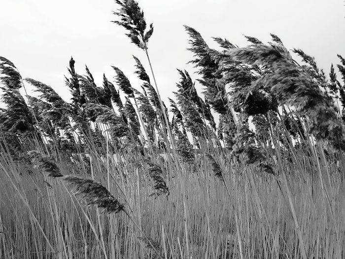 Nature Reeds By Water Black And White Photography Beauty In Nature Landscape Reeds Winter