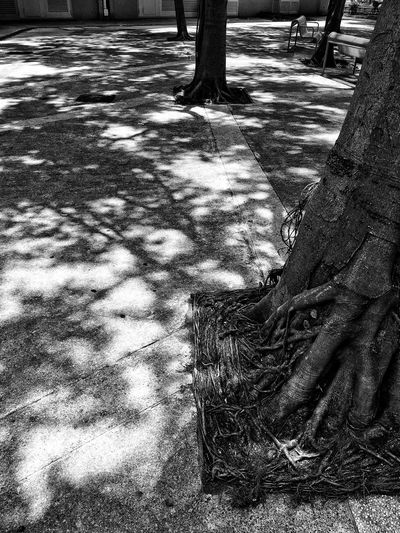 Black And White Blackandwhite Photography Black And White Photography Black & White Black And White Blackandwhite Beauty In Nature Trunk Day Nature Sunlight Shadow Outdoors No People Tree Plant Tranquility Focus On Shadow