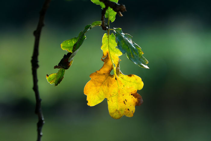 Autumn Autumn Collection Autumn Leaves Nature Oak Leaf Autumn 2017 Autumn Colours Beauty In Nature Branch Close-up Focus On Foreground Freshness Leaf Light And Shadow Nature Oak Oak Leaves Yellow