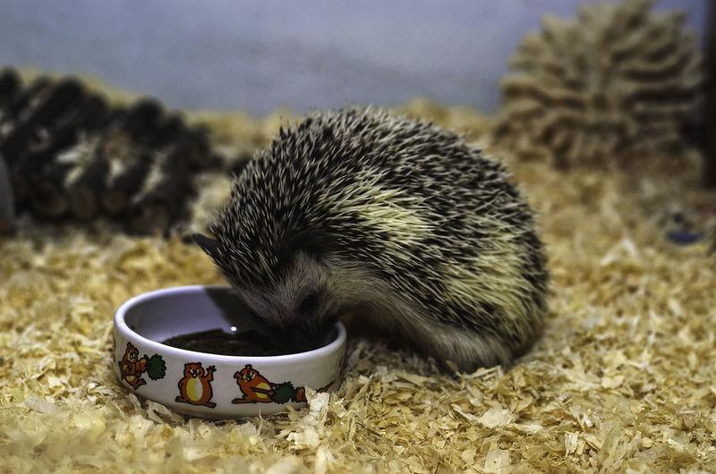 Close-up of hedgehog