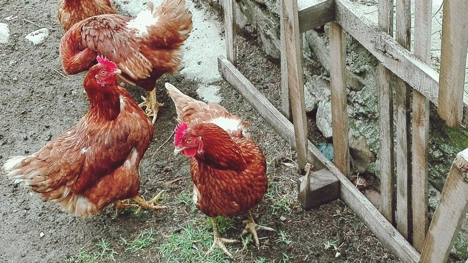 The Farm Day Beauty In Nature Hens And Chickens First Eyeem Photo HuaweiP8Lite My Year My View
