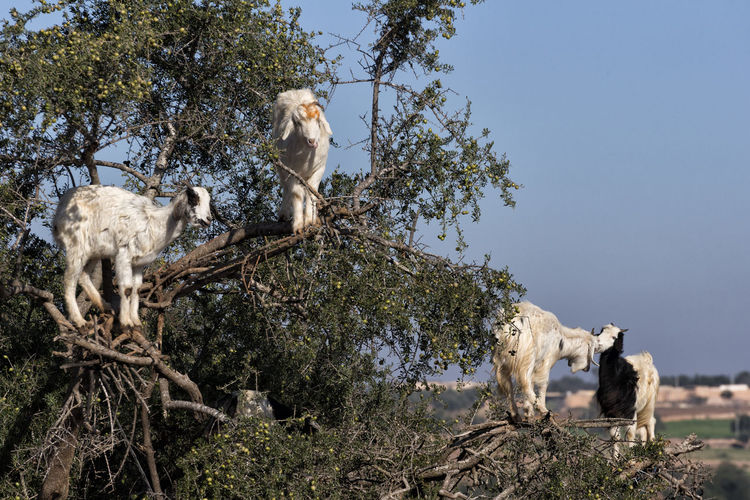 Tree Climbing Goats Argan EyeEm Best Shots FUNNY ANIMALS Goat Goats Morocco Tree Animal Themes Animals In The Wild Argan Trees Branch Clear Sky Goat Life Goats Life Nature No People Outdoors Travel Destinations