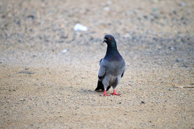 Animal Themes Animal Bird Animal Wildlife Animals In The Wild Vertebrate One Animal No People Land Day Nature Pigeon Outdoors Beach Selective Focus Field Black Color Sand High Angle View Full Length