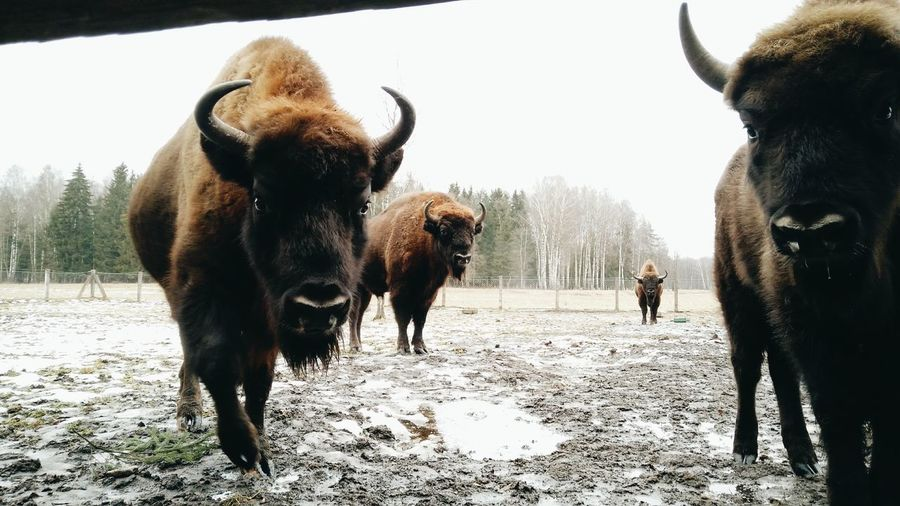 Bisons in Lithuania // Animal Themes Outdoors Winter Forest Snow Lithuania Travelphotography Travel Destinations Bison Reservation Bison In Winter Bison Range, Lithuania Travel Lithuanian Countryside Tree Nature
