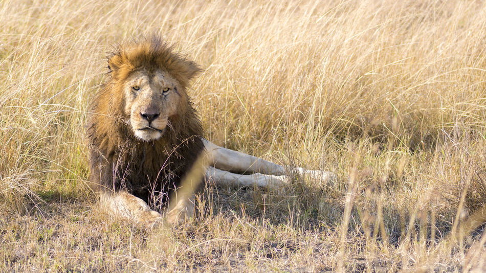 Eye Contact ! Africa Animals In The Wild Eye Contact Kenya King Of The Jungle Lion Masai Mara Siddharth Varma Wildlife