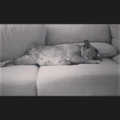 My beauty. Oldenglishbulldog
