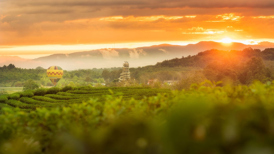 sunrise at tea plantation with hot air balloon and tower ,first light of 2018 new year. Agriculture Beauty In Nature Day Field Green Color Growth Idyllic Landscape Mountain Nature No People Outdoors Plant Rice Paddy Rural Scene Scenics Singhapark Singhaparkchiangrai Sky Sun Sunrise Sunset Tranquil Scene Tranquility Tree
