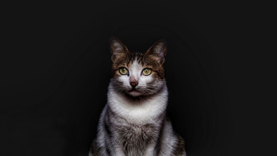 Tabby Cat Against Black Background