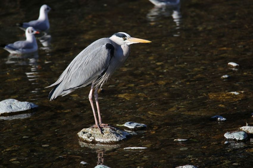 Bird Animal Wildlife Animals In The Wild Animal Themes No People Water Nature Lake Outdoors Airone Cenerino