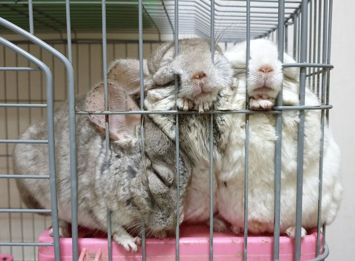 Chinchillas Chinchilla Chinchilla Photography Chinchilla Photography Cute Animals Animal Photography Animal Lover Cute Pet Pet Lover Pet Photography  Sleeping Pets By SS Note9 Pets Trapped Cage Cute Animal Themes Close-up