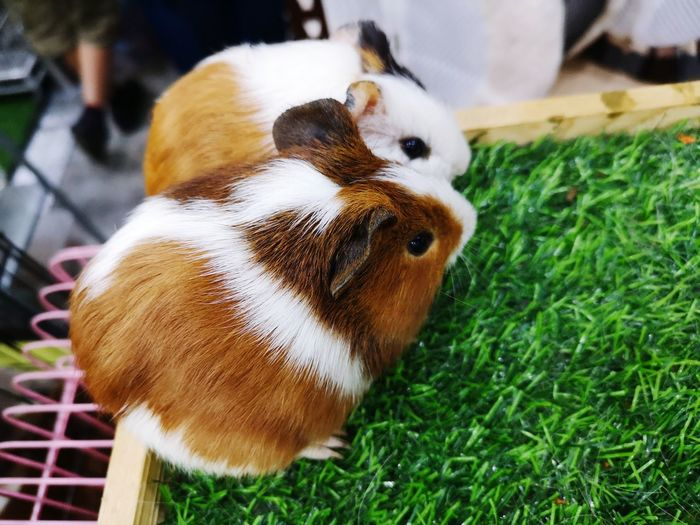 Animal Pets Close-up Grass Exotic Pets Guinea Pig Hamster