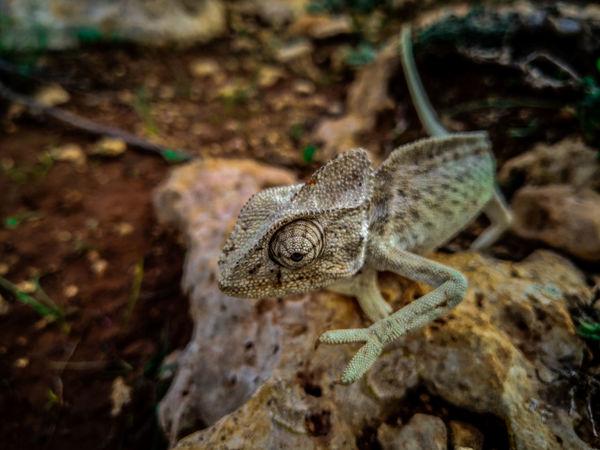 Nature Chameleon October Island Malta Walking Animal Wildlife UnderSea Reptile Close-up Chameleon Animal Skin Skin Exotic Pets Animal Eye