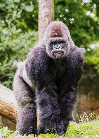 Portrait of gorilla on grassy field
