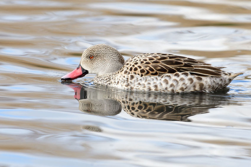 Animals In The Wild Bird Photography Check This Out EyeEm Best Shots EyeEm Nature Lover Low Angle View Nature Reflection Swimming Animal Themes Animal Wildlife Beauty In Nature Bird Birds Cape Teal Close-up Day Duck Nature_collection No People One Animal Outdoors Portrait Water Waterfront