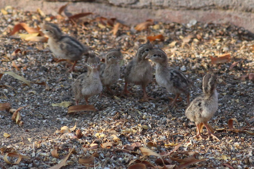 Tiny little Gambel's quail babies. Agriculture Animal Themes Animal Wildlife Animals In The Wild Bird Close-up Day Field Gambel's Quail Nature No People Outdoors Young Animal Young Bird