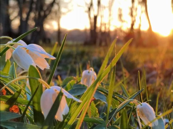 Nature Growth Plant Fragility Flower Beauty In Nature Freshness Close-up Outdoors No People Day Flower Head Woodlands Woodland Walk Early Morning Earlier Today Early Morning Walks Wood Anemone Sunrise Sunrise_sunsets_aroundworld Spring Springtime Spring Flowers Spring Has Arrived