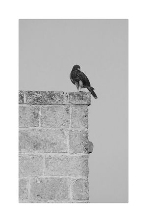 Falco Peregrinus Castel Open Your Eyes Monochrome Photography Monochromatic Nature Photography Fredom Bird Power Of Nature Ladyhawke Hawke Open Edit Italy Magical