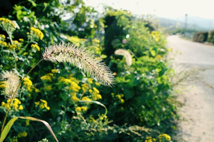 Plant Nature Outdoors Day Focus On Foreground Growth No People One Animal Flower Beauty In Nature Close-up Freshness Fragility Foxtail Bottle Grass Bristle Grass