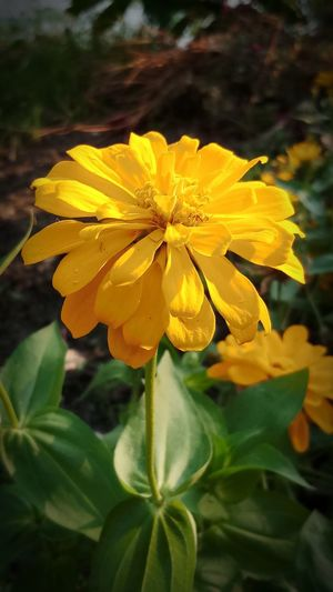 Beauty In Nature Close-up Day Flower Flower Head Flowering Plant Focus On Foreground Freshness Growth No People Outdoors Plant Plant Part Yellow