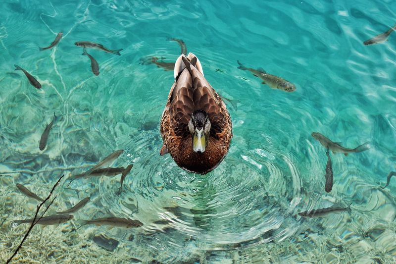 High angle view of duck and fish swimming in lake