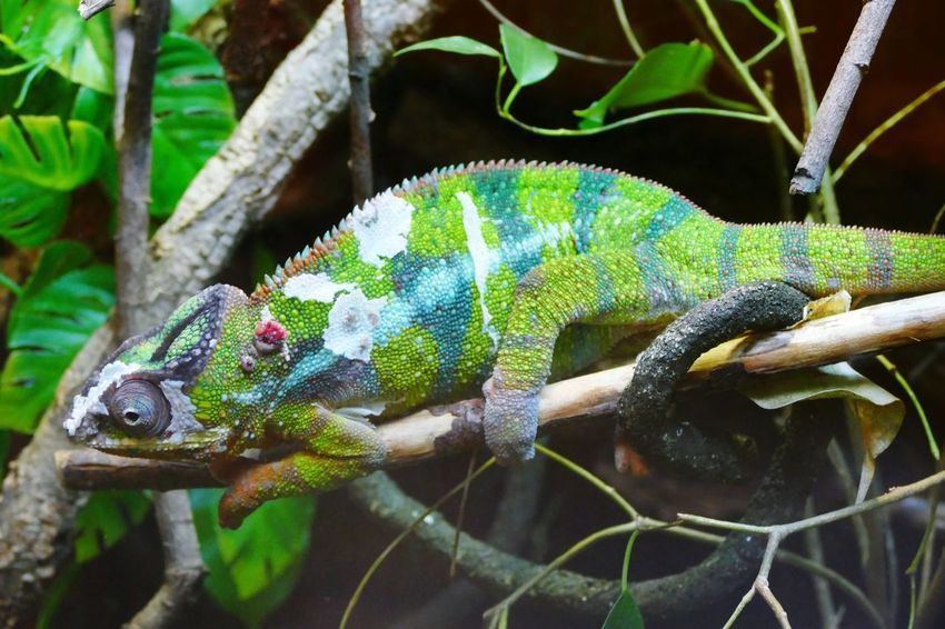 Chamaeleon Reptile One Animal Chameleon Nature Close-up No People Branch