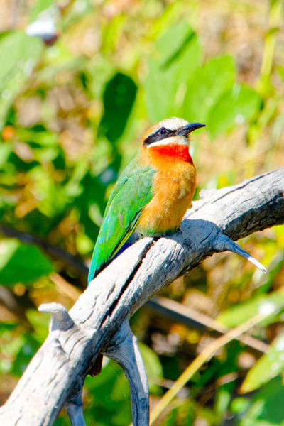 Vibrantly colorful white-fronted bee eater Bee-eater White-fronted Bee-eater Merops Bullockoides Dead Branch Dead Tree Dead Wood Green Green Color Namibia Caprivi Africa Okovango River Okovango Cubango River EyeEm Selects Bird Perching Tree Branch Multi Colored Defocused Tail Beak Tropical Bird