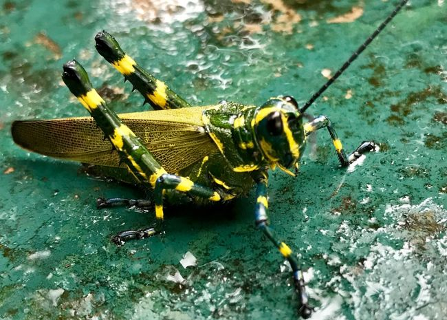 Grilo brasileiro Fauna And Flora Animal Brasiliancricket Cricket Gafanhoto Grilo Brasileiro Naturelovers Close Up Insect Animals In The Wild