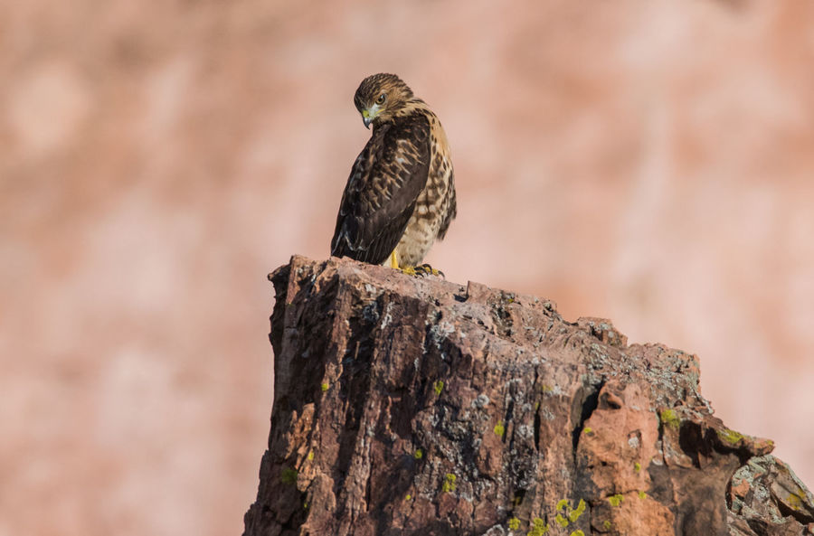 Jul 2018 - A Northern Goshawk (Accipiter gentilis) at Garden of the Gods Park Northern Goshawk Animal Animal Themes Animal Wildlife Animals In The Wild Bird Bird Of Prey Close-up Day Early Morning Light Focus On Foreground Full Length Nature No People One Animal Outdoors Perching Vertebrate
