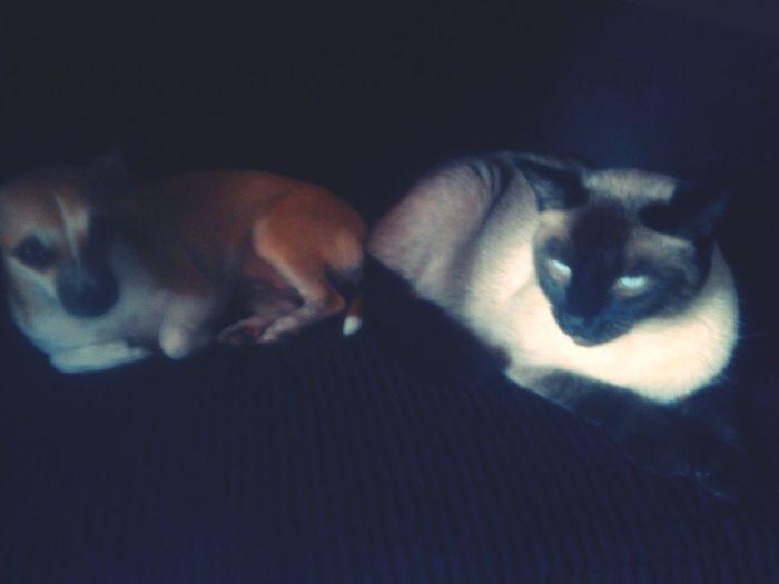 EyeEmAnimalLover Chihuahua Love ♥ Lovemykitty Besties♡ Chillen ✌ Siamese Cat