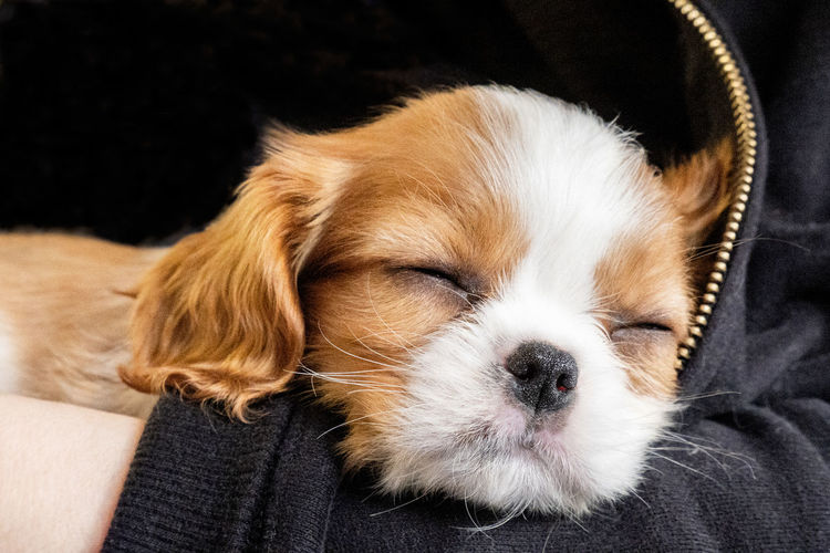 Portrait purebred cute puppy cavalier king charles spaniel sleeps in arms of girl, close-up