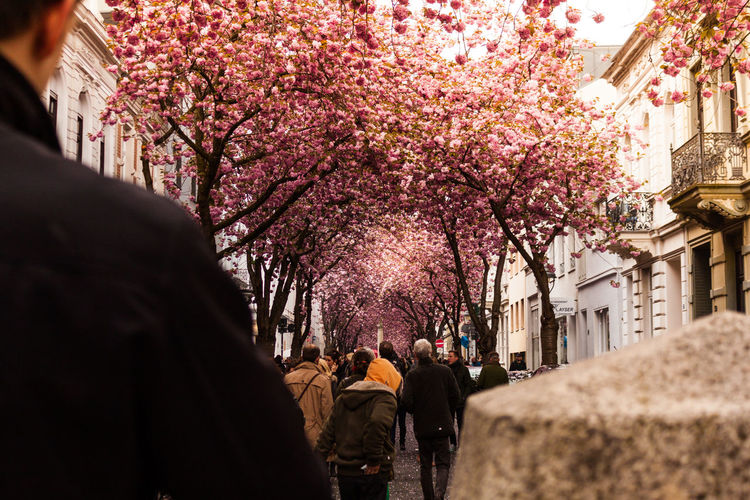 Cherry blossom alley in Bonn, Germany. Casual Clothing Cherry Cherry Blossom Cherry Blossoms Cherry Tree City City Life Day Feel The Journey Flower Growth Lifestyles Medium Group Of People Mixed Age Range Nature Original Experiences Outdoors Pink Color Taking Photos Tree
