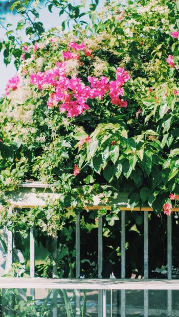 Vscocam 16x9 Bougainvillea ブーゲンビリア Plant Growth Nature Beauty In Nature No People Flower Flowering Plant Pink Color Summer Exploratorium EyeEmNewHere