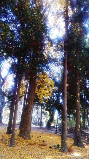 これも長浜の八幡様です。風が吹くと銀杏の葉が吹雪のようでした。